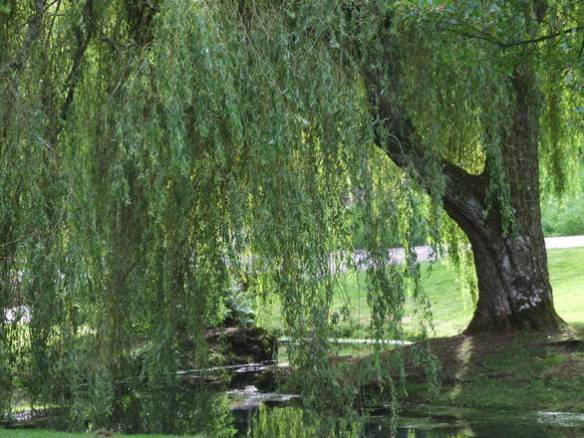 weepingwillow-1384353