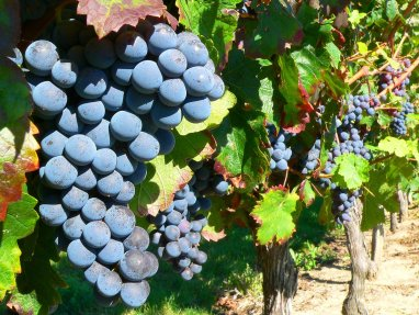 grape-on-the-vine-1326015