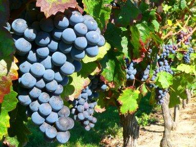 grape-on-the-vine-1326015