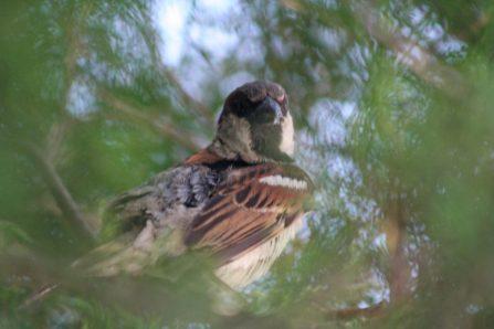 hidden-sparrow-1549262