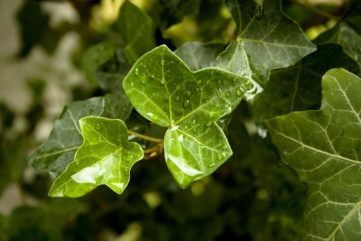 ivy-leaves-1368326