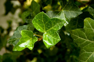 ivy-leaves-1368326