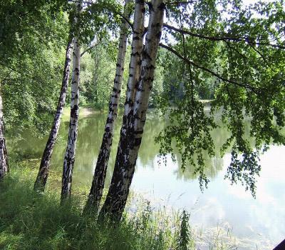 birch-tree-1-1401073