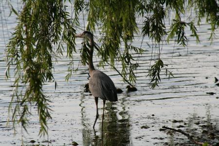 heron-under-weeping-willow-1369131