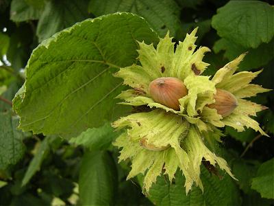 noisettes-dans-l-arbre-hazelnut-1617248
